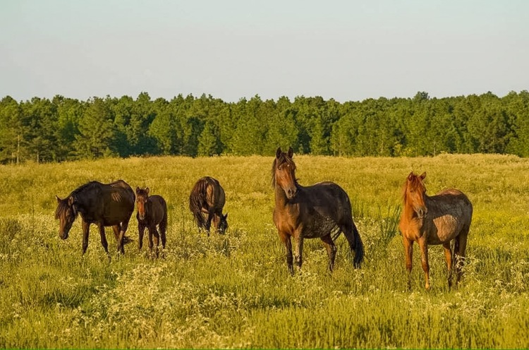 Peason Ridge Louisiana Horses
